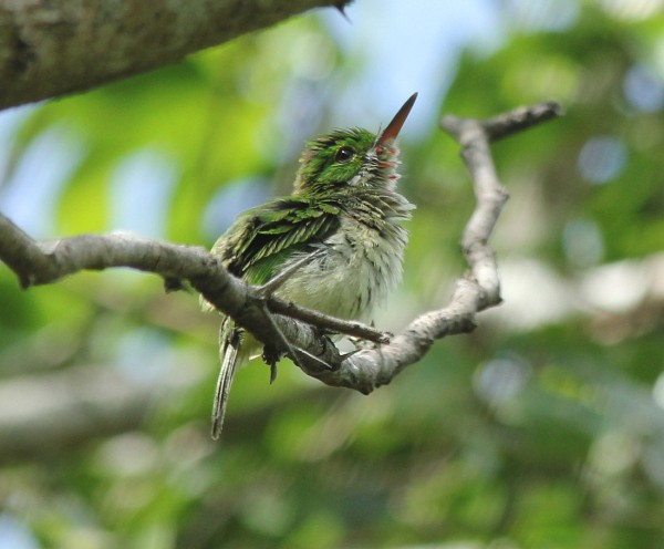 Broad-billed Tody by Justin Proctor - La Paz Group