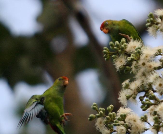 Sri Lanka Hanging Parrot by Ben Barkley - La Paz Group