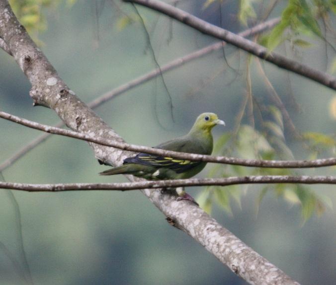 Sri Lanka Green Pigeon by Ben Barkley - La Paz Group