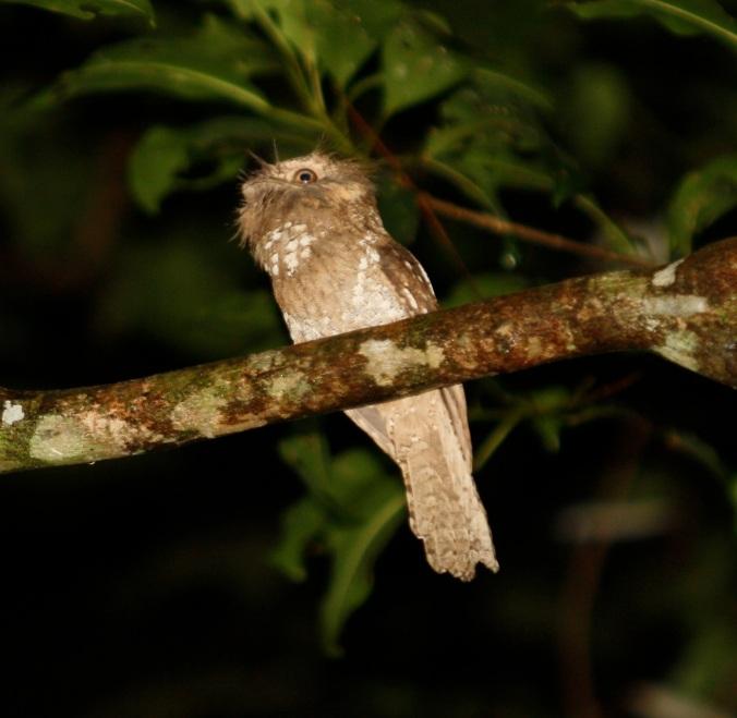 Sri Lanka Frogmouth by Ben Barkley - La Paz Group
