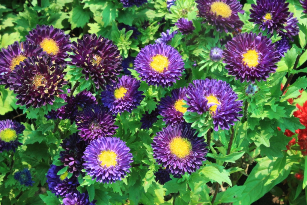 Aster (Alpine aster) | Raxa Collective