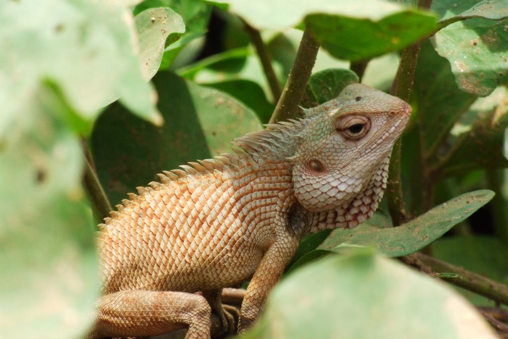 common garden lizard calotes versicolor - Garden Lizard