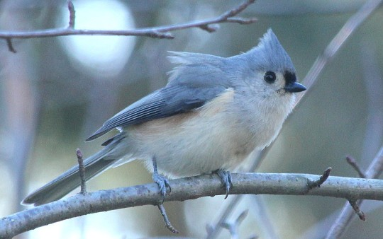 Tufted Titmouse by Justin Proctor - La Paz Group
