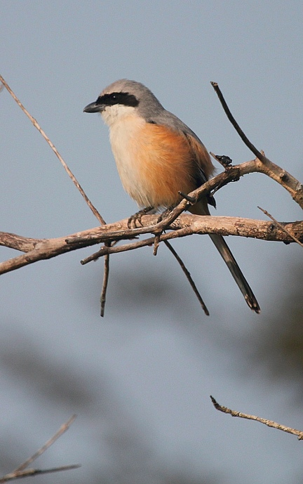 Bay-backed Shrike by Anukash - La Paz Group