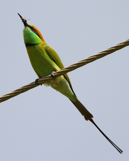 Green bee eater by Anukash - La Paz Group