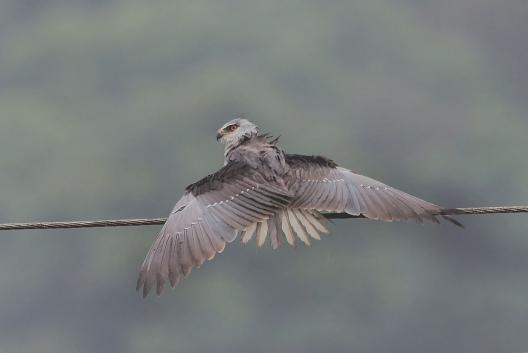 Black-shouldered Kite by Anukash - La Paz Group