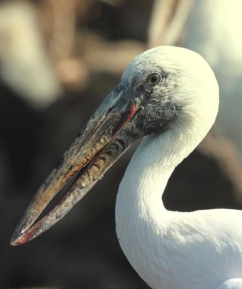 Openbill Stork by Anukash - Organikos