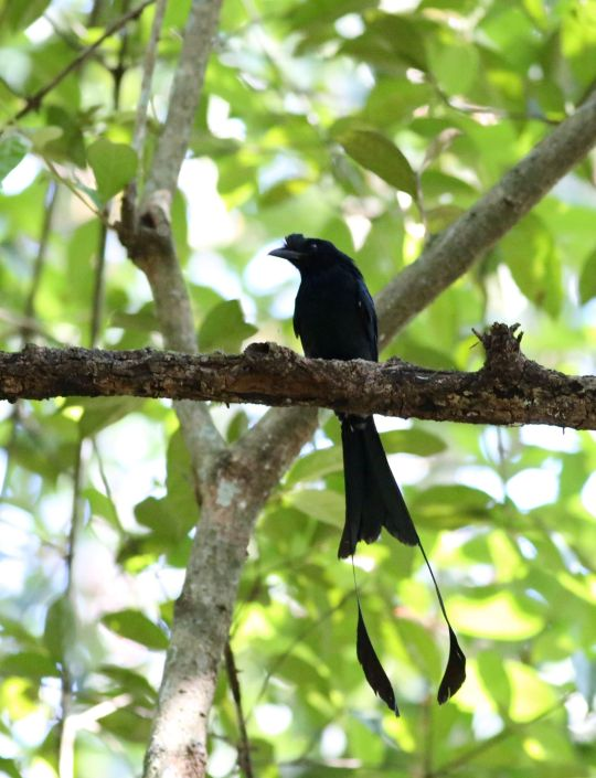 Greater Racket-tailed Drongo by Michael Tiemann - La Paz Group