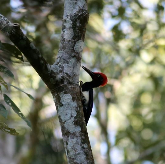 White-bellied Woodpecker by Michael Tiemann - La Paz Group