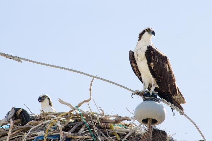 Osprey by Milo Inman - La Paz Group