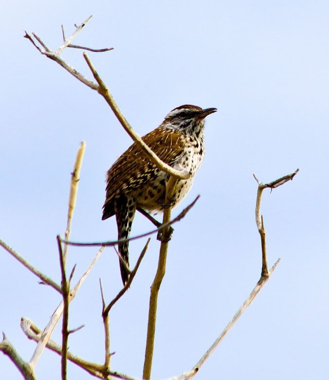 Cactus Wren by Milo Inman - La Paz Group
