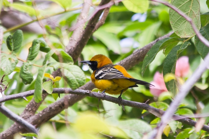 Hooded Oriole by Milo Inman - La Paz Group