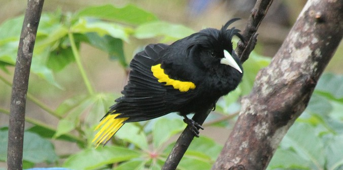 Yellow-winged Cacique by Justin Proctor - La Paz Group