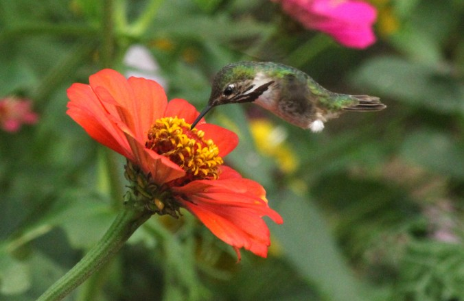 Calliope Hummingbird by Justin Proctor- La Paz Group