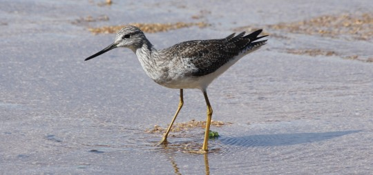 Greater Yellowlegs by Justin Proctor - La Paz Group