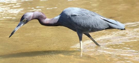 Little Blue Heron by Justin Proctor - La Paz Group