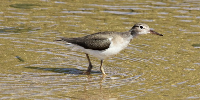 Spotted Sandpiper by Justin Proctor - La Paz Group