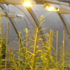 Recent research shows an excess of strengthening sugar molecules in the willows' stems, which attempt to straighten the plant upwards in the presence of windy conditions. These high-energy sugars are fermented into biofuels.