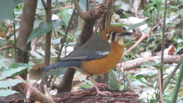Orange-headed Thrush by Salim E.I. - La Paz Group