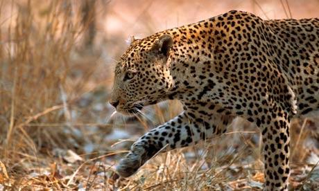 Zambia's leopard