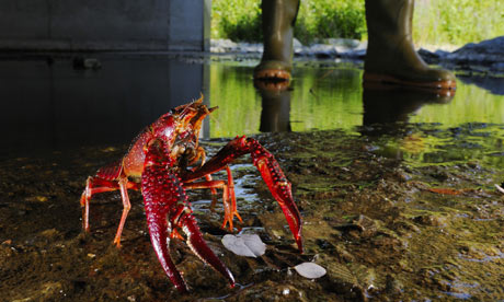 A red swamp crayfish. 'Alien' species cost the European economy €12bn a year, a study shows. Photograph: FLPA/Alamy