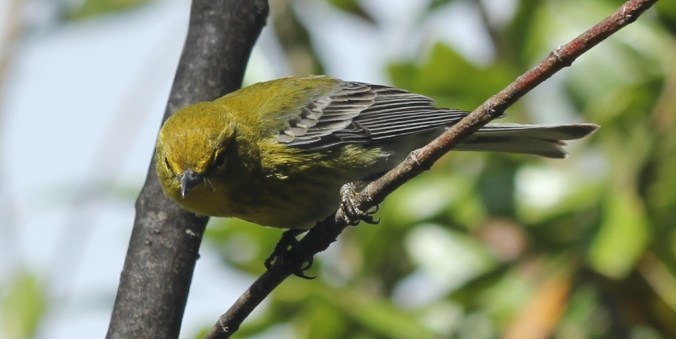 Pine Warbler by Justin Proctor - La Paz Group
