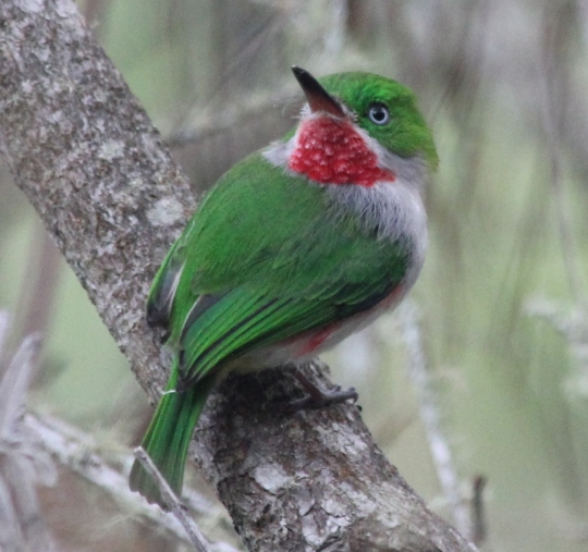 Narrow-billed Tody by Justin Proctor - La Paz Group