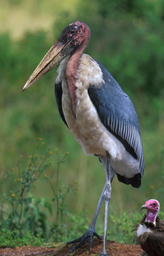 Marabou Stork by John Mason - Organikos