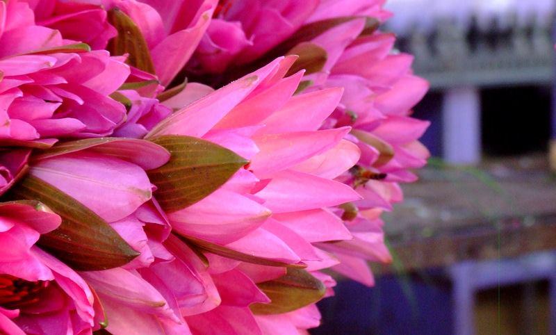 indian lotus flower  la paz group, Beautiful flower
