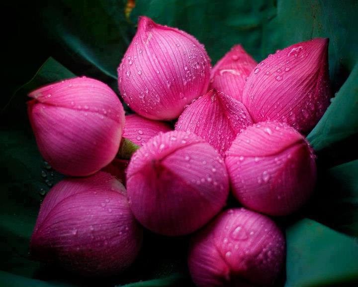 Indian lotus flower la paz group indian lotus flower mightylinksfo