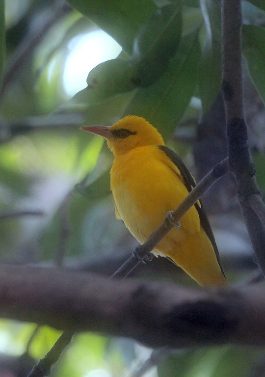 Indian Golden Oriole by Anukash - La Paz Group