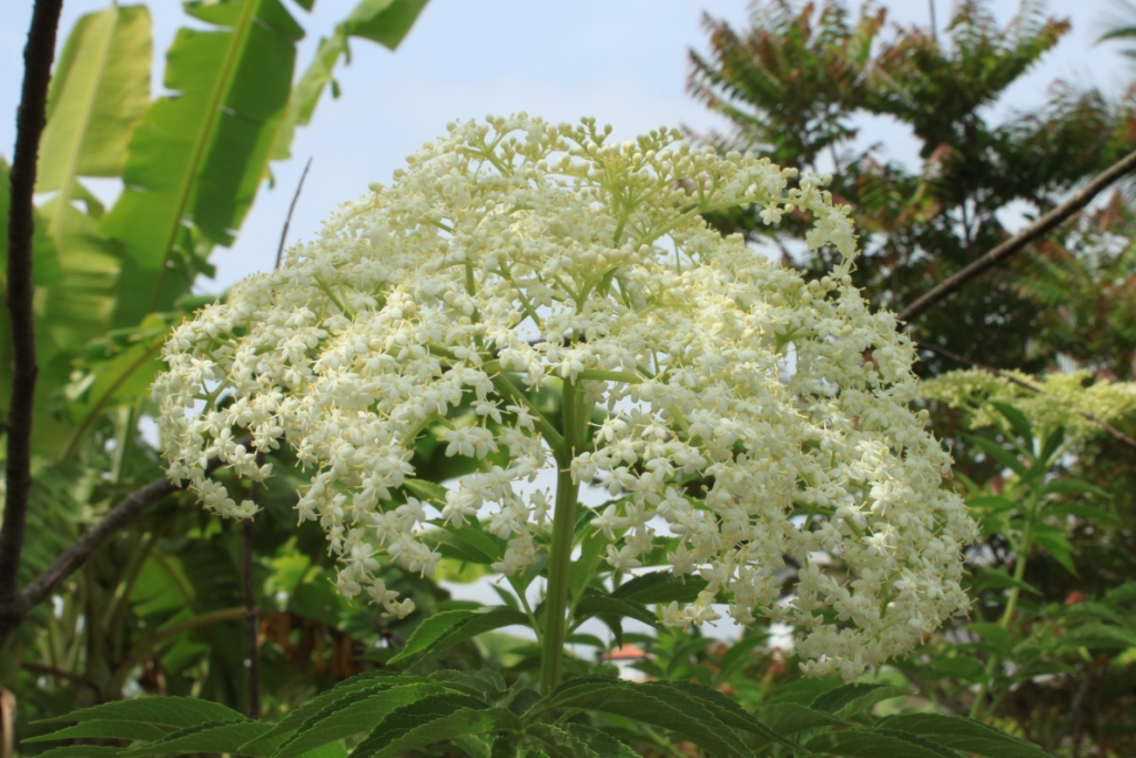 foto de Elderberry Sambucus nigra La Paz Group