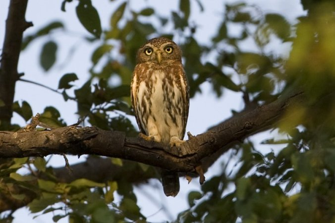 Spotted Owlet by Douglas Bruch - La Paz Group