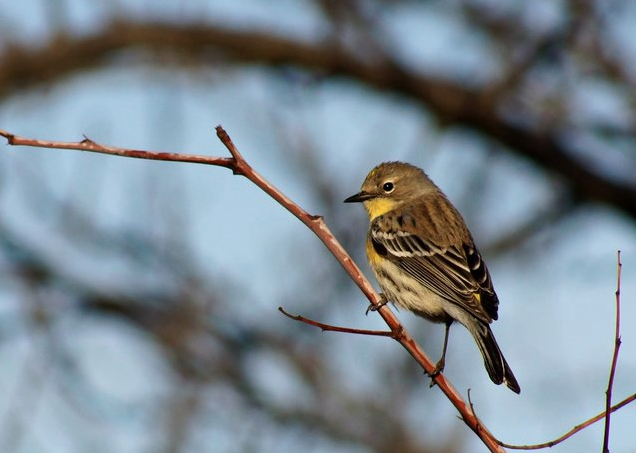 Yellow-rumped Warbler by Jason Chen - La Paz Group