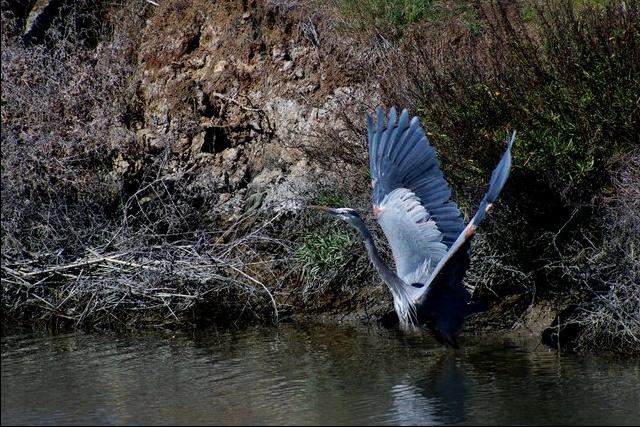 Great Blue Heron by Jason Chen - La Paz Group
