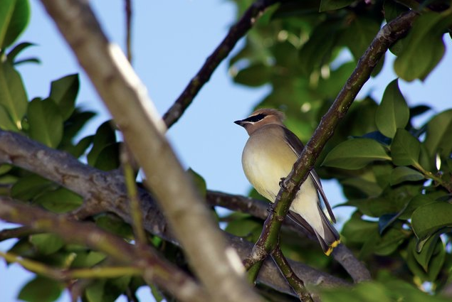 Cedar Waxwing by Jason Chen - La Paz Group