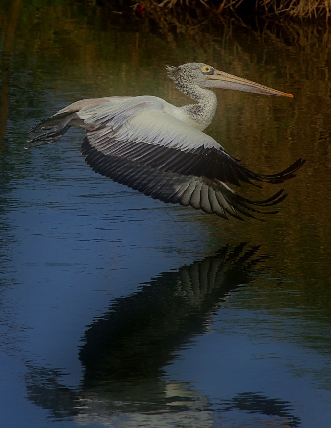 Spot-billed Pelican by Anukash - La Paz Group
