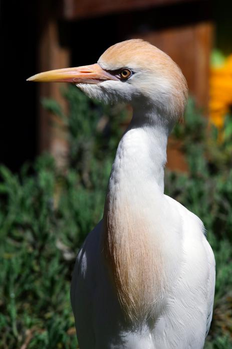 Cattle Egret by Jason Chen - La Paz Group
