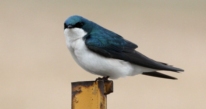 Tree Swallow by Justin Proctor - La Paz Group