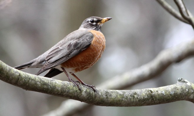 American Robin by Justin Proctor - La Paz Group