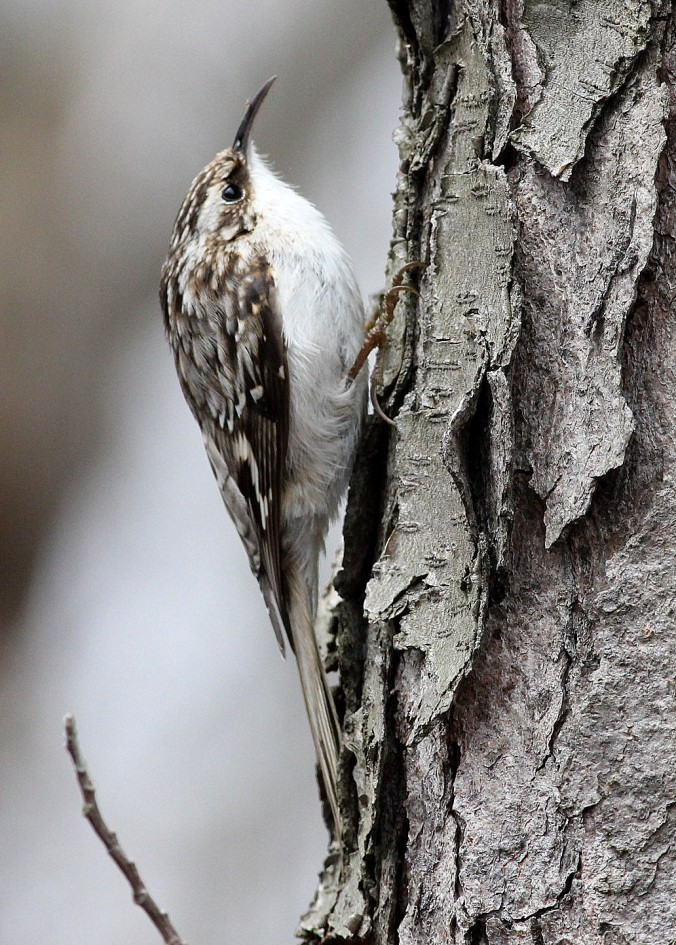 Brown Creeper by Justin Proctor - La Paz Group