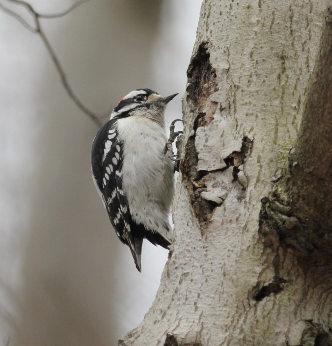 Downy Woodpecker by Justin Proctor - La Paz Group
