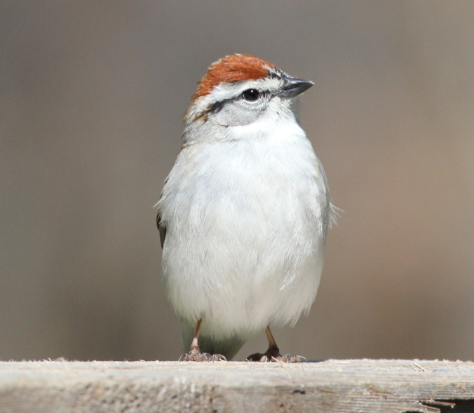 Chipping Sparrow by Justin Proctor - La Paz Group