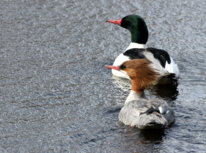 Common Merganser by Justin Proctor - La Paz Group