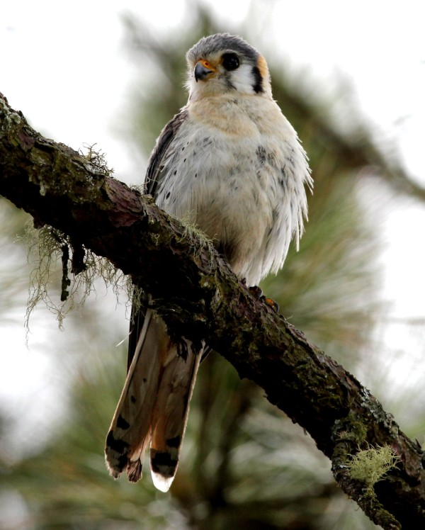 American Kestrel by Justin Proctor - La Paz Group