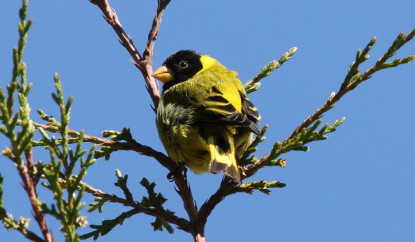 Antillean Siskin by Justin Proctor - La Paz Group