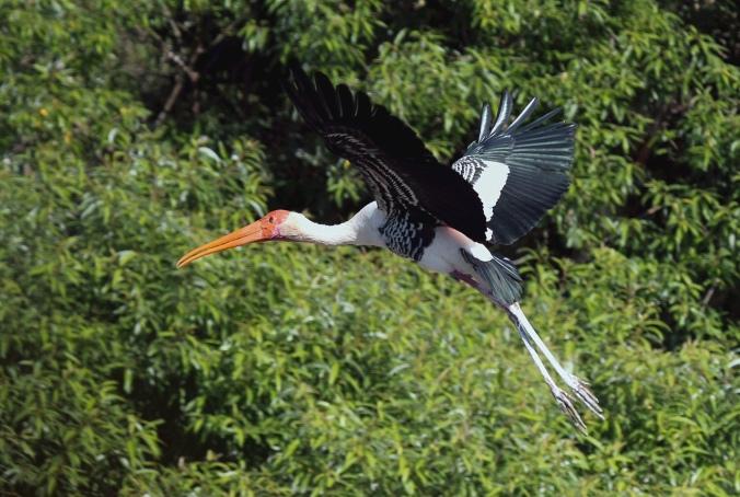 Painted Stork by Anukash - Organikos