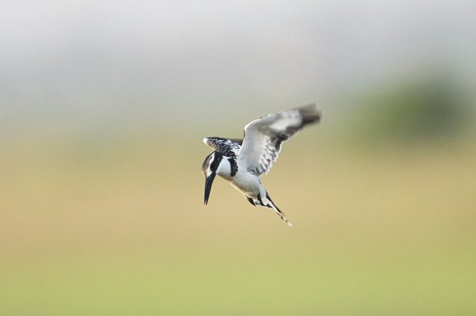 Pied Kingfisher by Douglas Bruce - La Paz Group