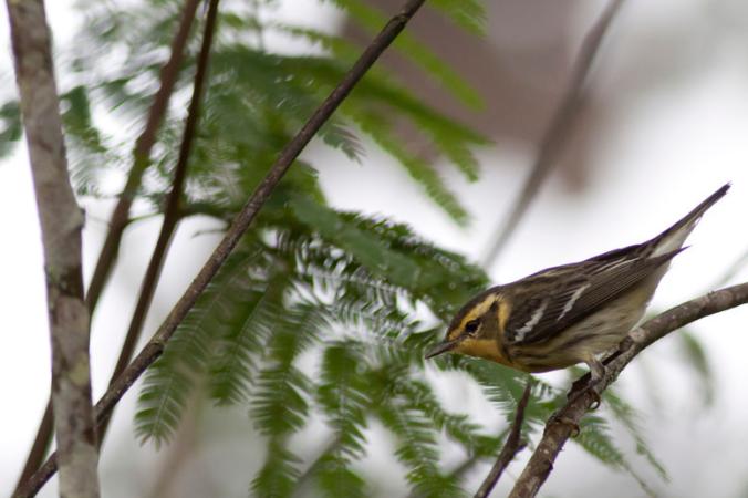Blackburnian Warbler by Evan Barrientos - La Paz Group