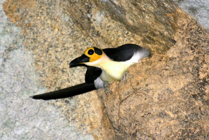 White-necked Picathartes - Photo Credit: David Shackelford Rockjumper Birding Tours